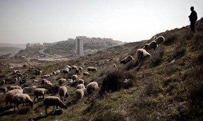 A-Palestinian-shepherd-wa-006.jpg