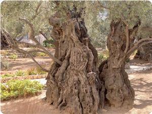 images_News_2011_03_02_olive-trees_300_0.jpg